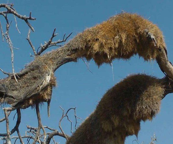 世界上最大的鳥巢,重達一噸有數百年歷史,至今無人敢爬上去!