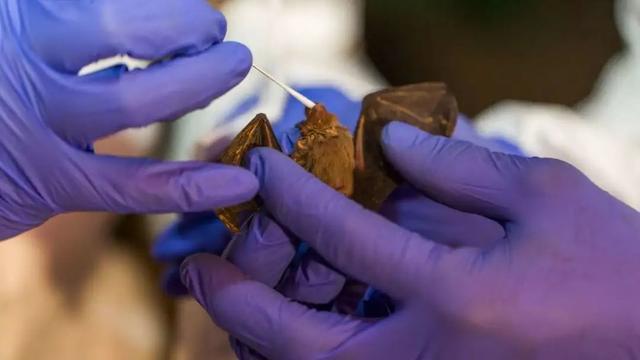 """""""毒王""""蝙蝠真是行走的病毒库,科学家新发现6种冠状病毒"""
