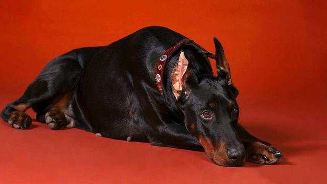 哪种犬最凶猛?凶猛恶犬排行榜!世界第一恶犬专为格斗而生